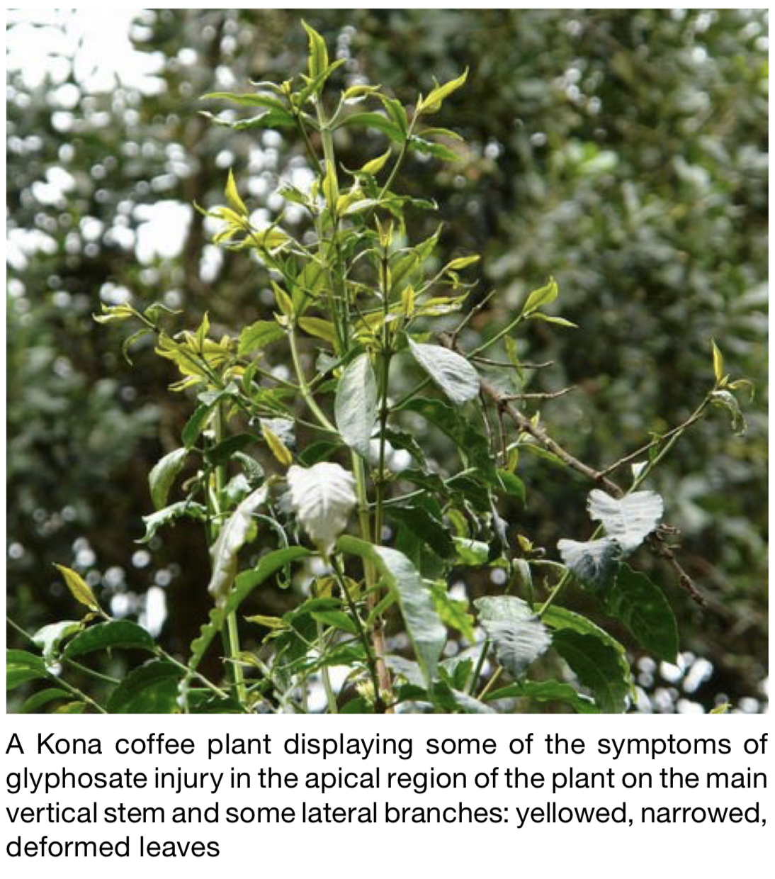 Glyphosate Herbicide Injury Welcome Coffee Growers